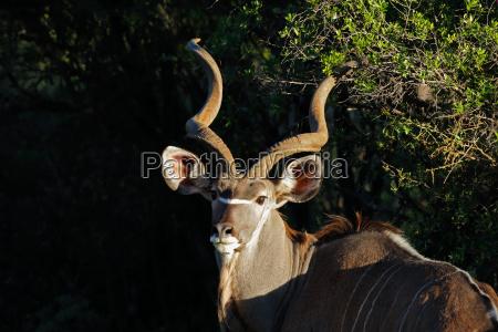 kudu antelope portrait