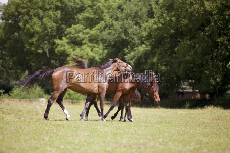 horse threatens to graze