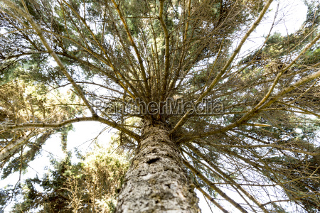 pine tree with wide green branches