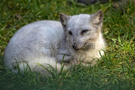 silver fox in a clearing