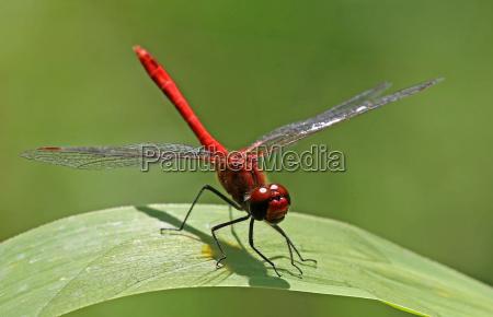 blood red darter sympetrum sanguineum in