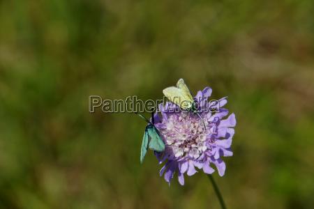 acker witwenblume knautia arvensis mit gemeines