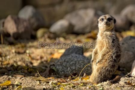 meerkat in a clearing