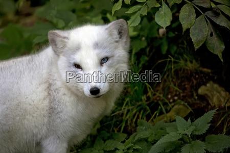 silver fox a portrait
