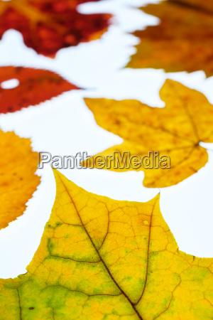 weinblatt und ahornblaetter im herbst im