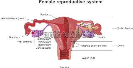das weibliche fortpflanzungssystem anatomie koerper menschlichen