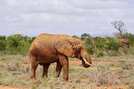 elefanten im tsavo ost kenia