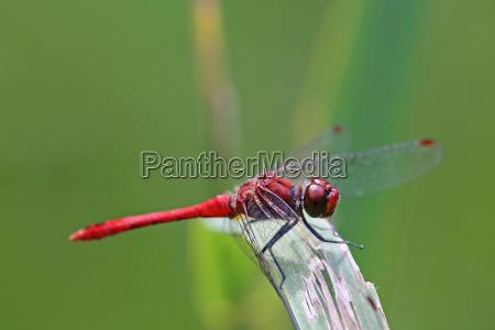 blood red darter sympetrum sanguineum