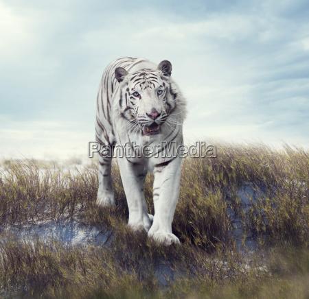 weisser tiger im grasland