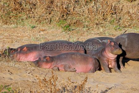 hippos die an land ruhen