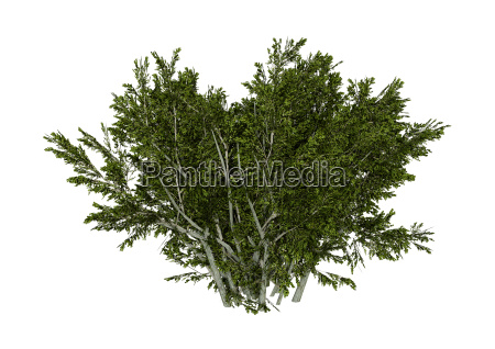 3d das kreosot bush auf weiss