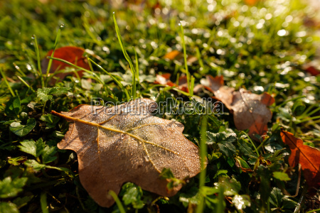 eichenblatt auf wiese mit wassertropfen vom