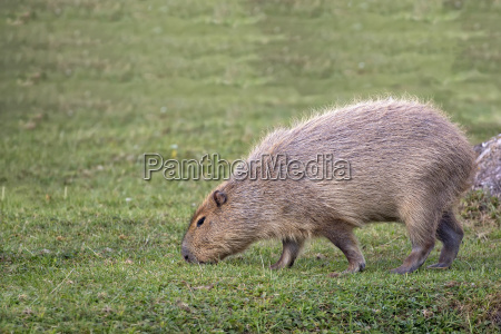 capybara in a clearing