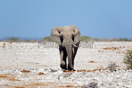 afrikanischer bullenelefant