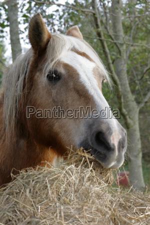 haflinger in the hay