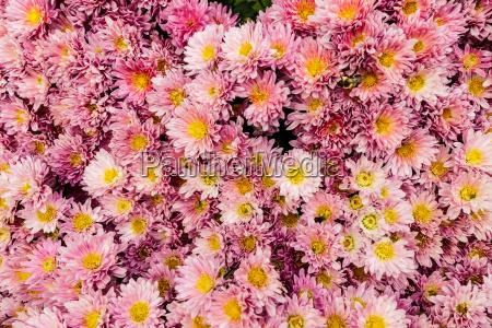 blume blumen pflanze hintergrund gelb rosa