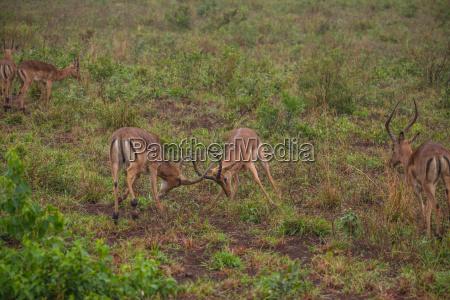 impala herde in suedafrika