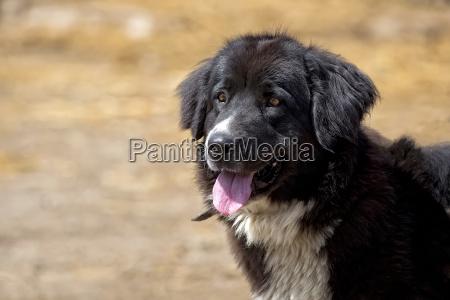 black dog a portrait