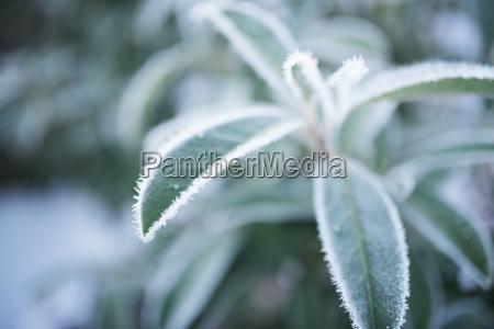 frozen leaves in winter