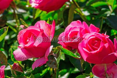 rosen im fruehling