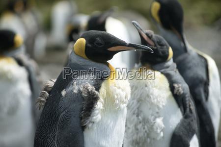 chick king penguins at volunteer point