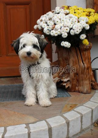 tibetterrier puppy
