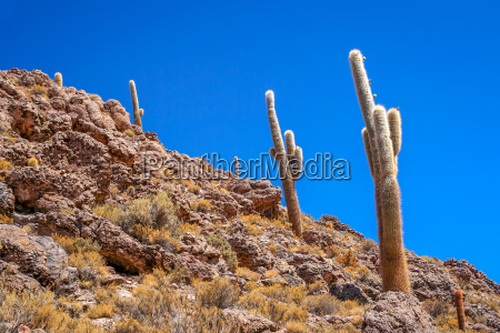 bolivian cactuses on a mountain slope