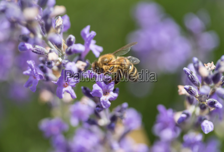 bee on the lavender flowerside view