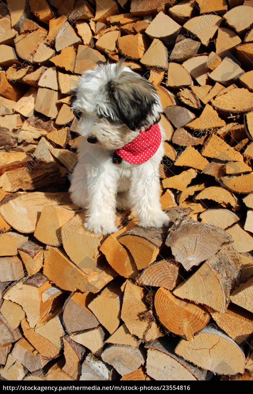 tibet, terrier, , welpe - 23554816