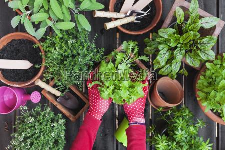 frauenhaende pflanzen kraeuter auf terrasse
