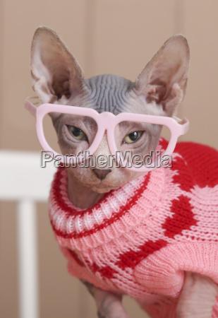 portraet von sphynx katze traegt rosa