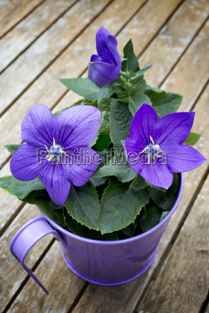 blossoming potted balloon flower