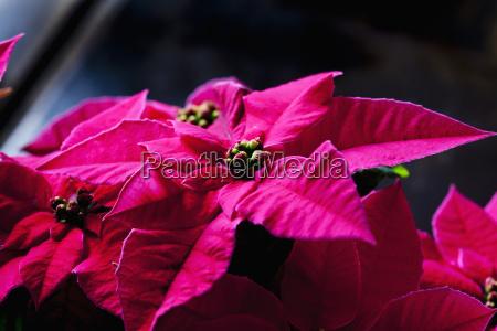 pink poinsettia close up