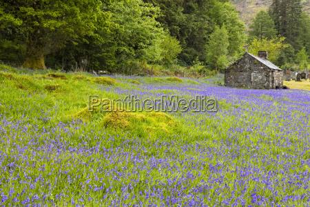 uk schottland highland ballachulish bluebells neben