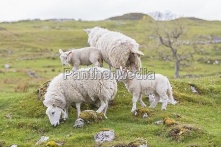 great britain scotland scottish highlands flock