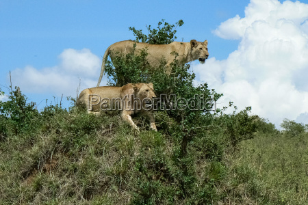 loewe in der savanne safari