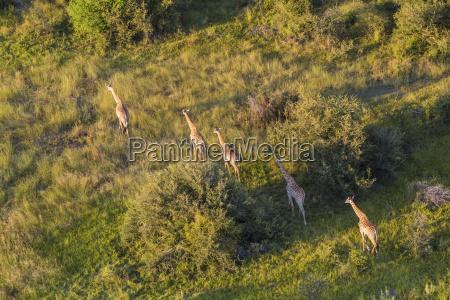 aerial view of five giraffes walking