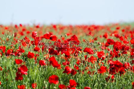 poppy field flowers background beautiful field
