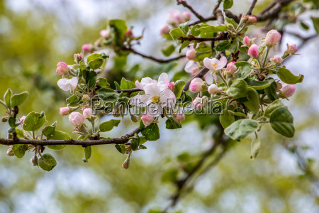 white apple tree bloosoms and green