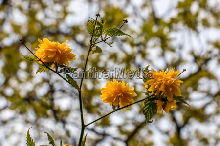 yellow blossoms and green leaves on