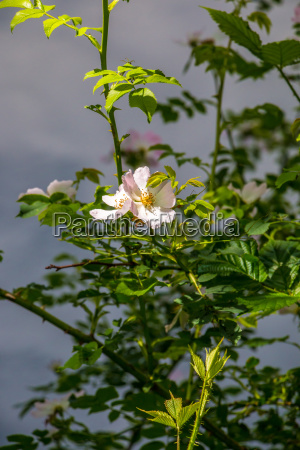 white rose and green leaves near