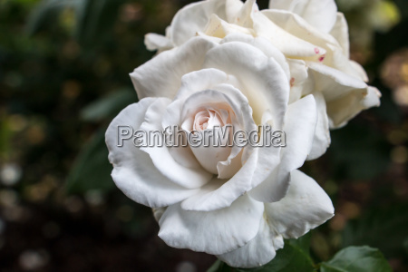white rose on the green field
