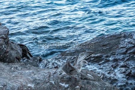 sea mews on big rock by
