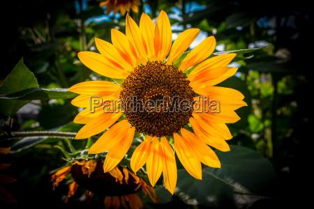 big bright golden sunflower with green