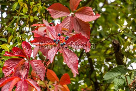 red leaves of wild wine in