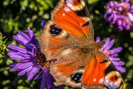 butterfly on violet flower on the