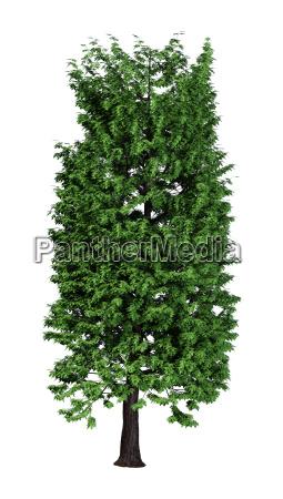 3d rendering chestnut tree on white