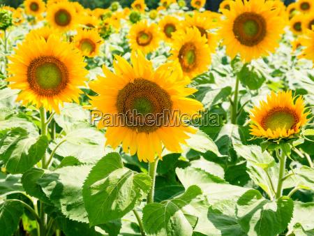yellow sunflower flowers on field in