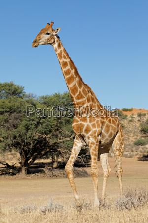 giraffe im natuerlichen lebensraum