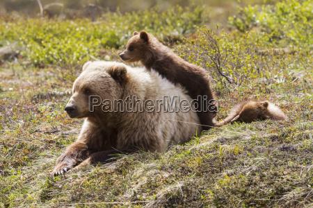 grizzly bear ursus arctos horribilis and